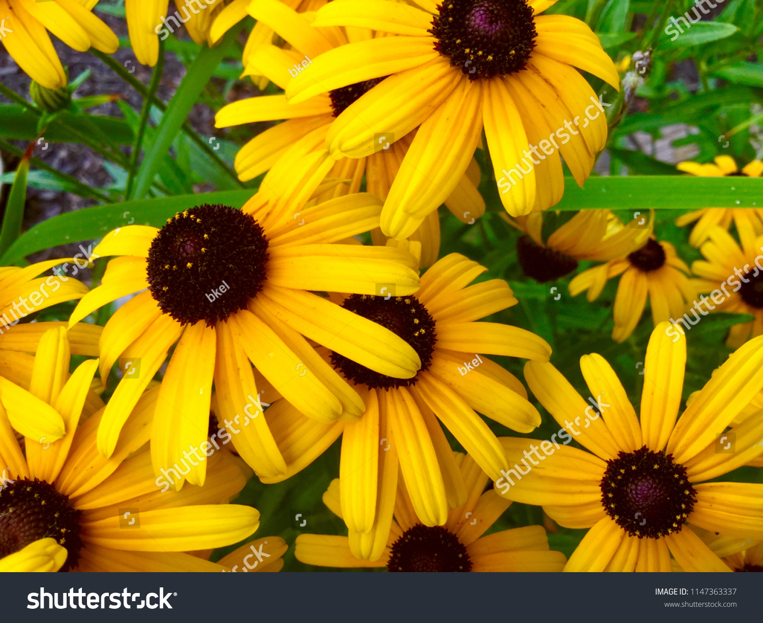 Group Black Eyed Susans State Flower Stock Photo Edit Now 1147363337