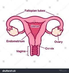 hand drawn female reproductive system anatomy chart uterus and cervix ovaries and fallopian tubes  [ 1500 x 1600 Pixel ]