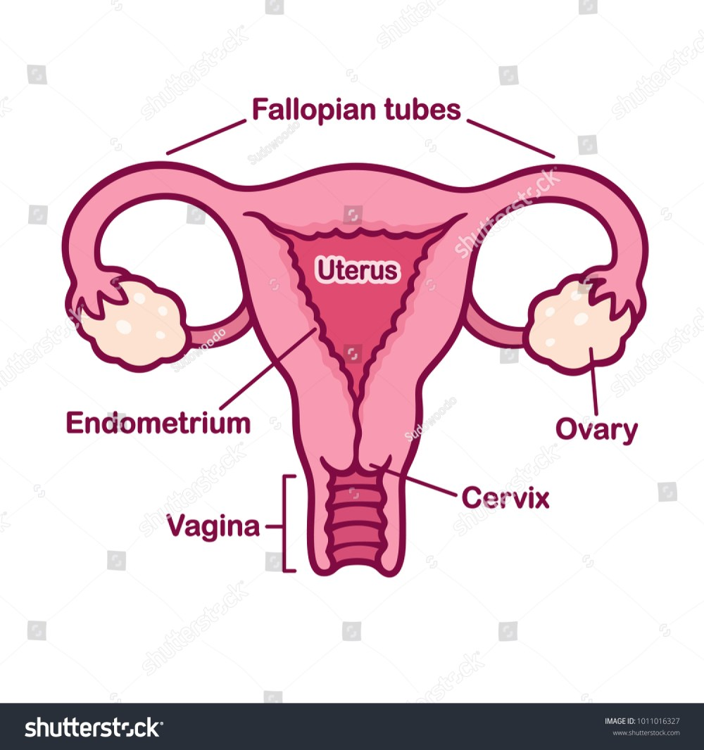 medium resolution of hand drawn female reproductive system anatomy chart uterus and cervix ovaries and fallopian tubes