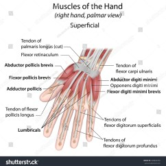 Palmar Hand Muscle Anatomy Diagram Land Rover Discovery 2 Speaker Wiring Muscles Aspect Superficial Labeled Stock Illustration