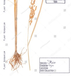 herbarium pressed parts cereal rice plant stock photo edit now [ 1226 x 1600 Pixel ]