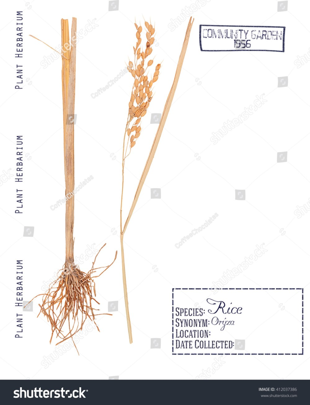 medium resolution of herbarium pressed parts cereal rice plant stock photo edit now
