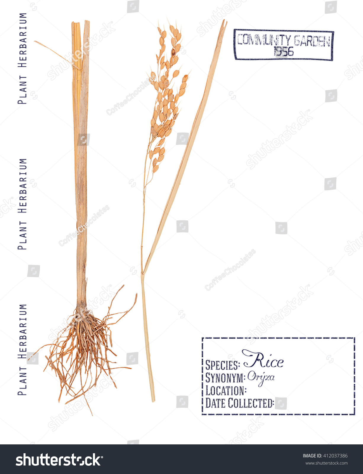 hight resolution of herbarium pressed parts cereal rice plant stock photo edit now