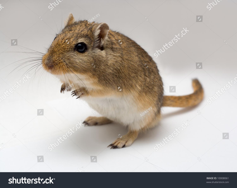 Home Pet Jerboa Stock Photo 10008061 - Shutterstock