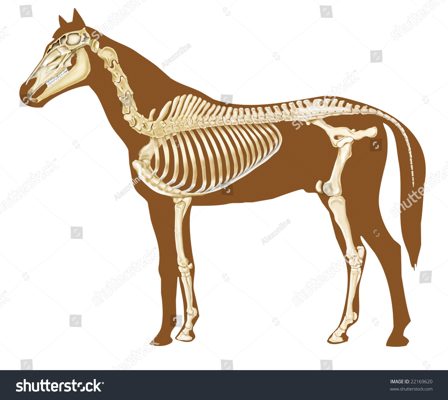 Horse Skeleton Section With Bones X Ray Stock Photo
