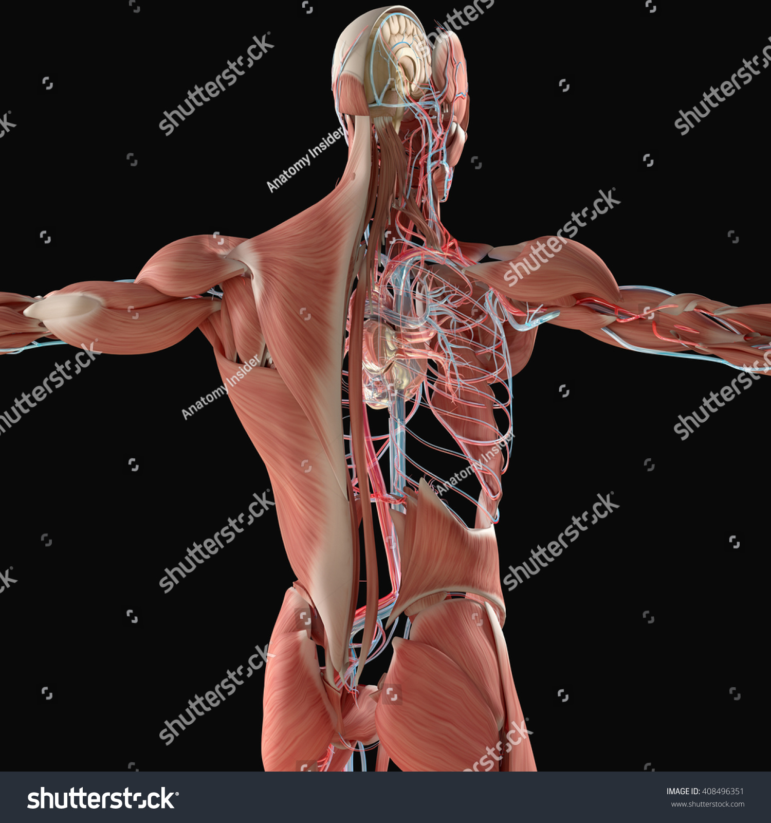Human Anatomy Back 3d Illustration Muscular And
