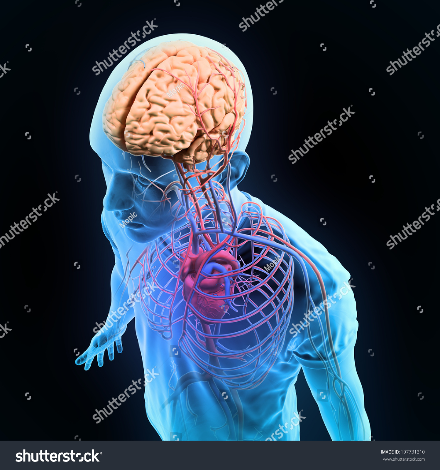 Human Anatomy Illustration Central Nervous System Stock