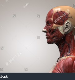 human anatomy muscle anatomy of the face neck and shoulder of a female side view [ 1500 x 1108 Pixel ]