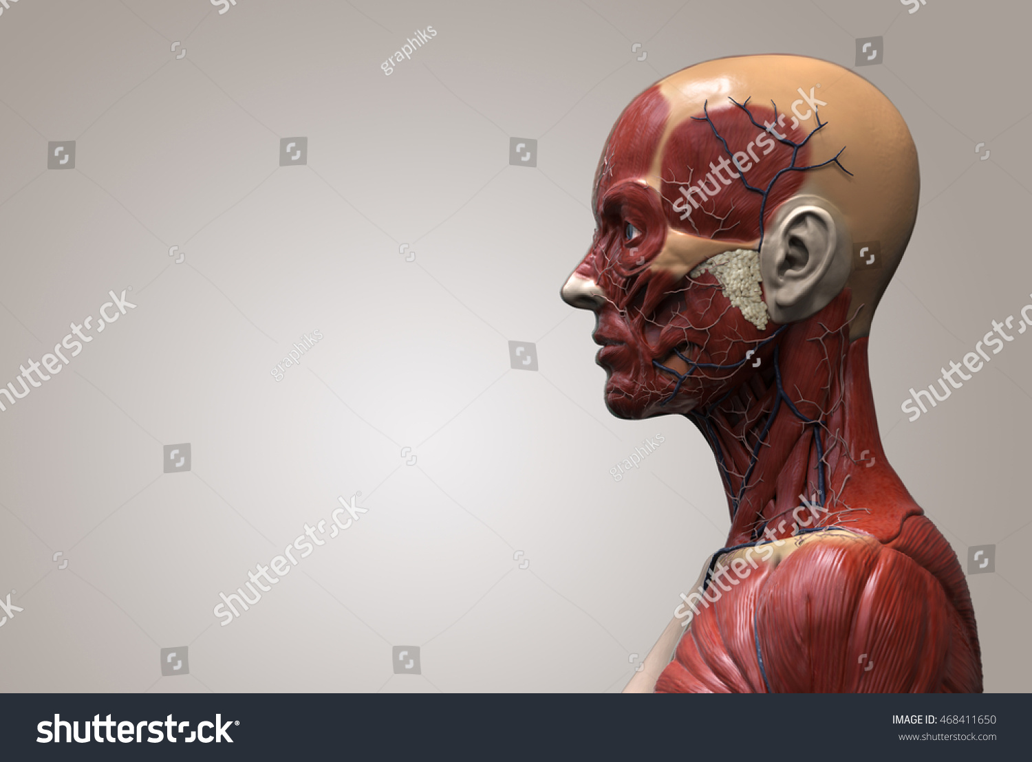hight resolution of human anatomy muscle anatomy of the face neck and shoulder of a female side view