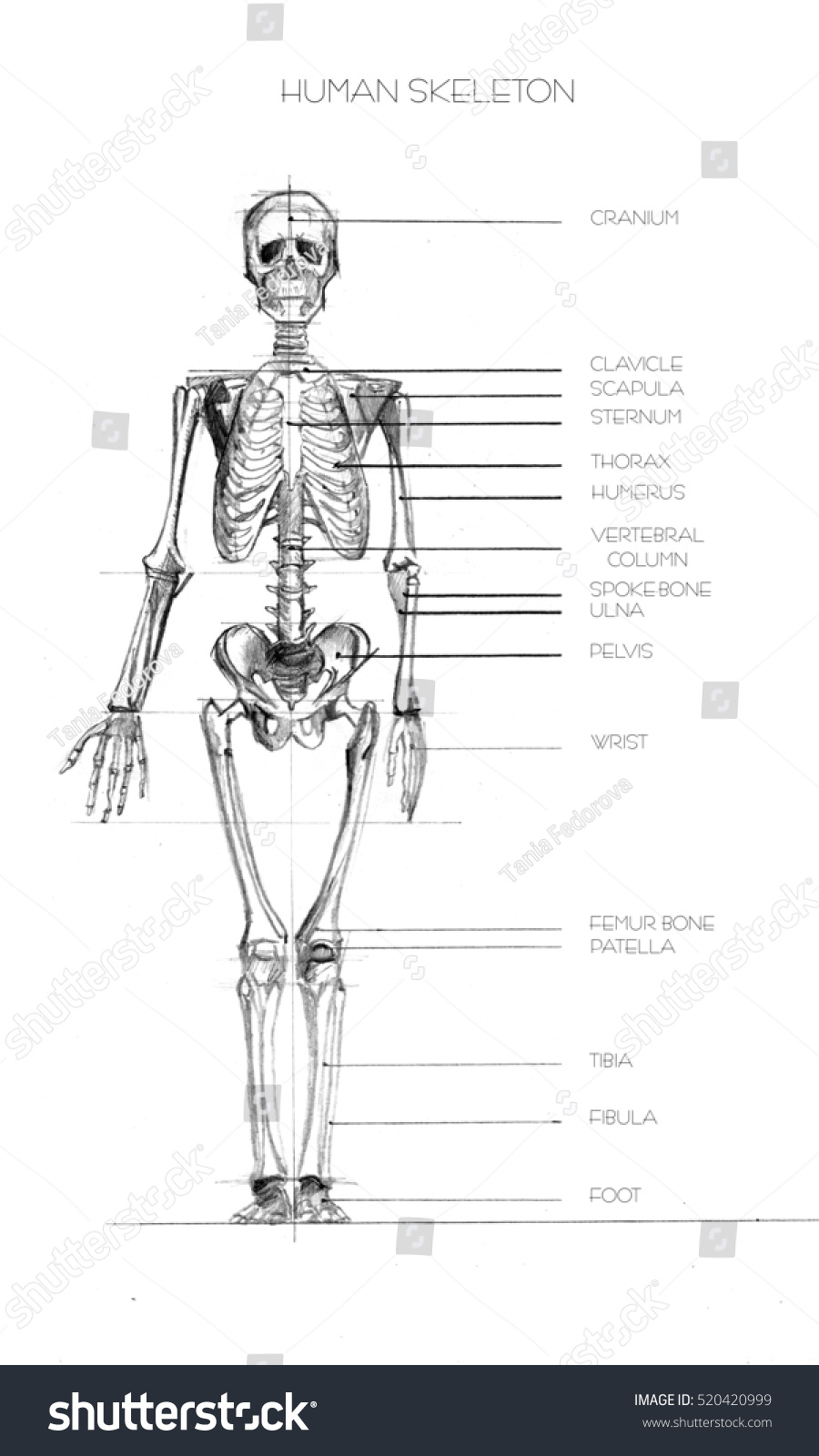 hight resolution of realistic detailed skeleton of a full length