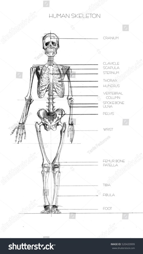 small resolution of realistic detailed skeleton of a full length