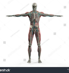 human anatomy showing back full body head shoulders and torso bone structure  [ 1500 x 1225 Pixel ]
