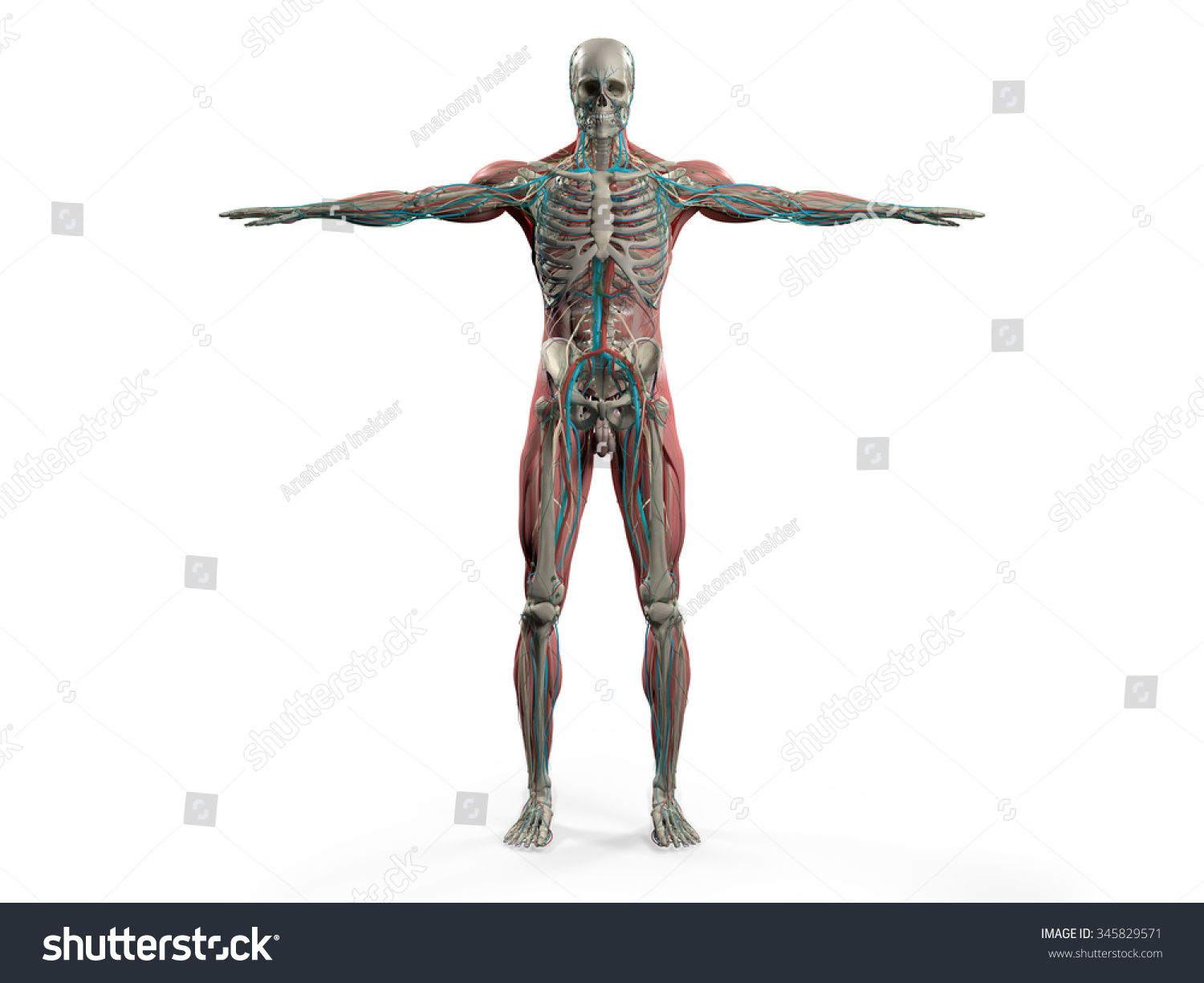 hight resolution of human anatomy showing back full body head shoulders and torso bone structure