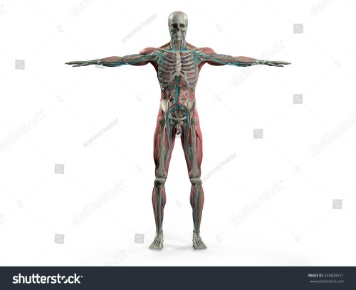 small resolution of human anatomy showing back full body head shoulders and torso bone structure