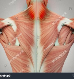human anatomy torso back muscles pain neck area 3d illustration  [ 1500 x 1225 Pixel ]