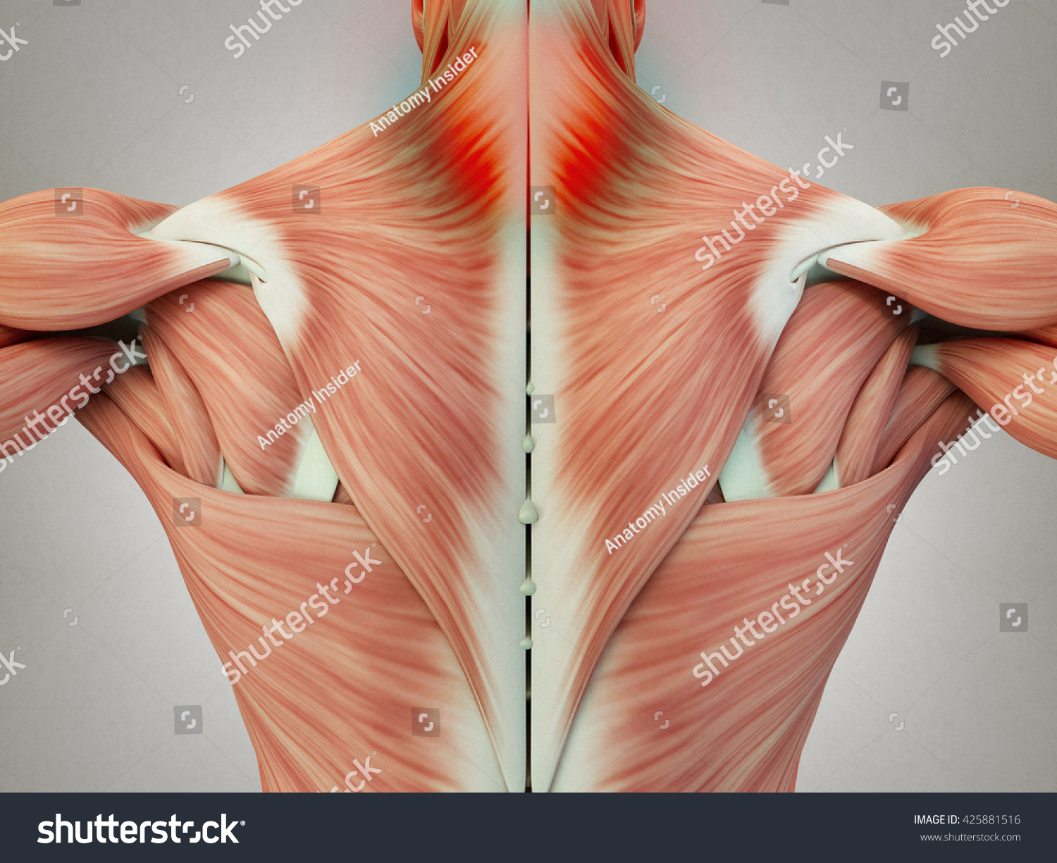 hight resolution of human anatomy torso back muscles pain neck area 3d illustration