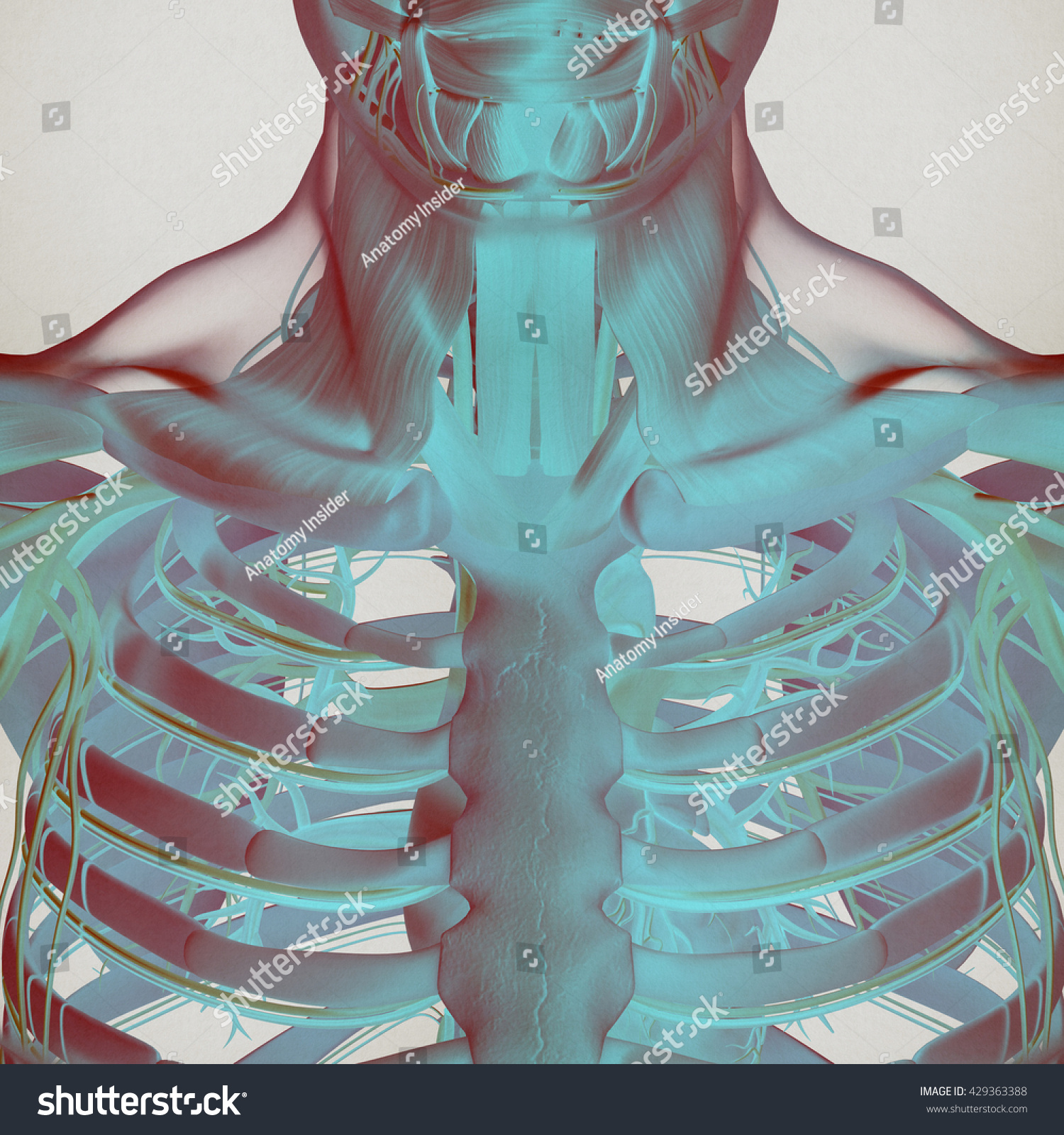 diagram of rib cage and muscles radial nerve royalty free stock illustration human anatomy torso muscle vascular system futuristic scan