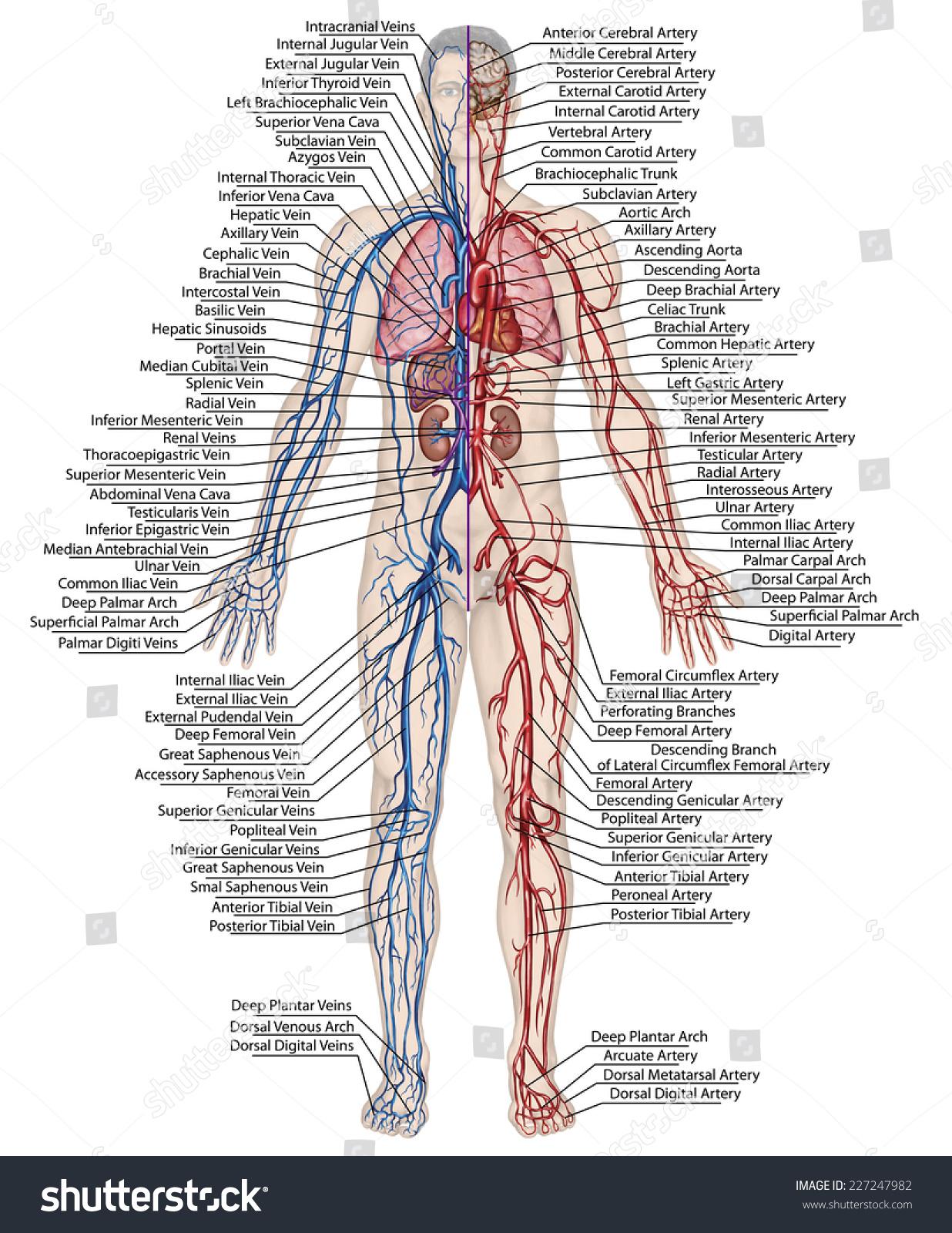 Bloodstream Diagram Gallery