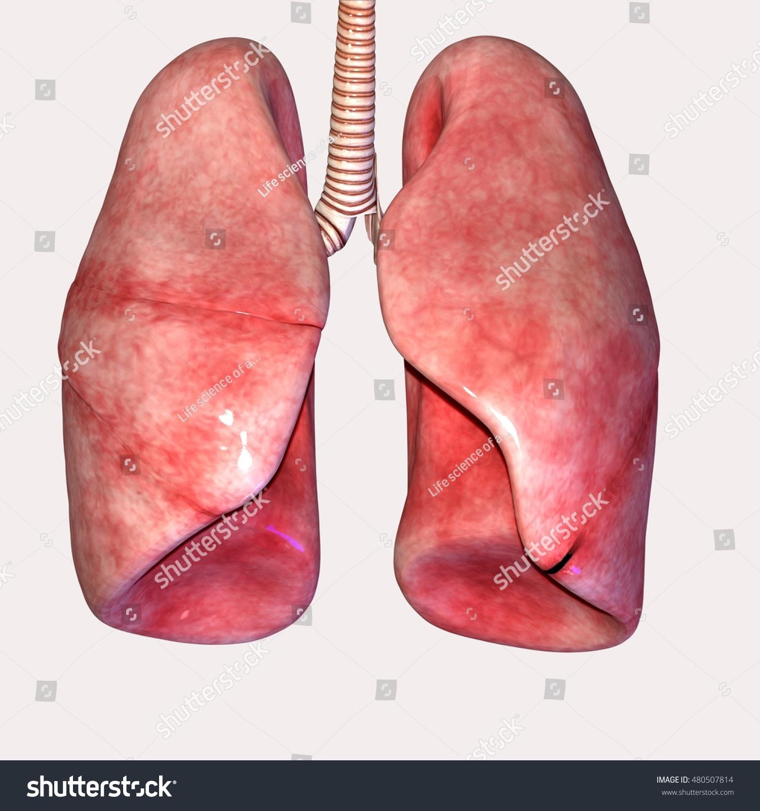lungs human anatomy diagram basic house wiring diagrams body organs 3d stock illustration