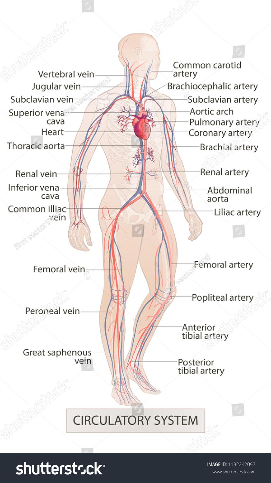 medium resolution of human body parts circulatory vascular system man anatomy hand drown sketch illustration isolated