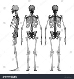 human body skeleton body structure wire model [ 1500 x 1600 Pixel ]