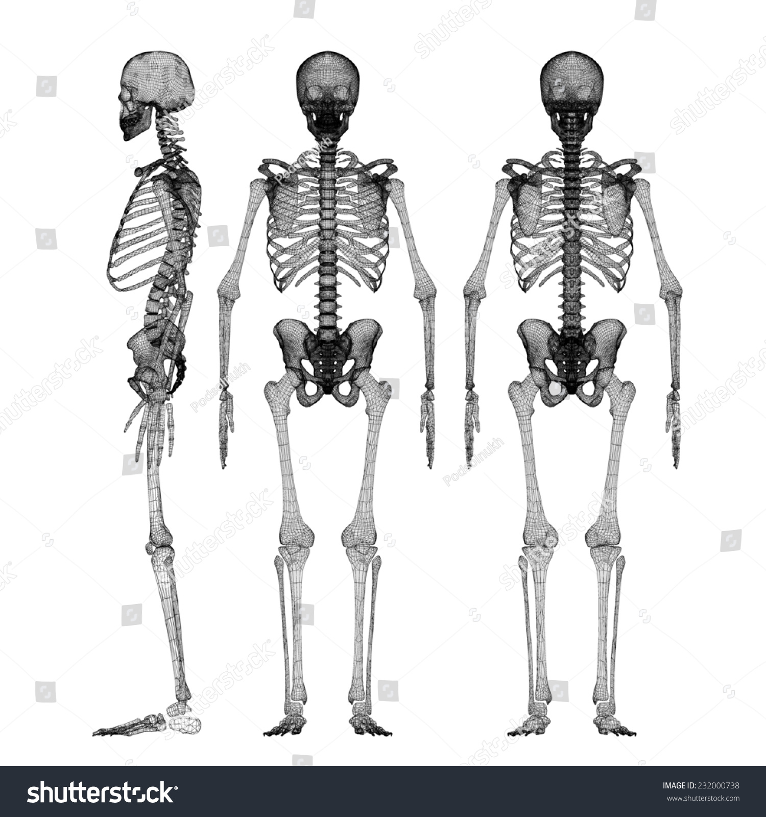 hight resolution of human body skeleton body structure wire model