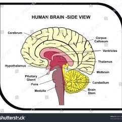 Brain Diagram Pons 2002 Land Rover Discovery Radio Wiring Human Side View Parts Stock Photo Edit Now 83941303 With Cerebrum Hypothalamus Thalamus Pituitary Gland Medulla Stem Cerebellum Midbrain