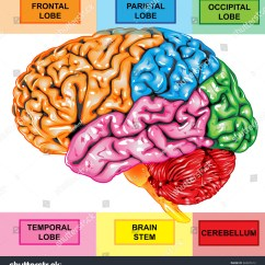 Right Lateral Brain Diagram Area Lighting Research Wiring Human View Stock Photo 60487612 Shutterstock