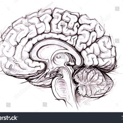 Brain Diagram Sagittal View Super Beetle Wiring Human Medical Sketchy Stock