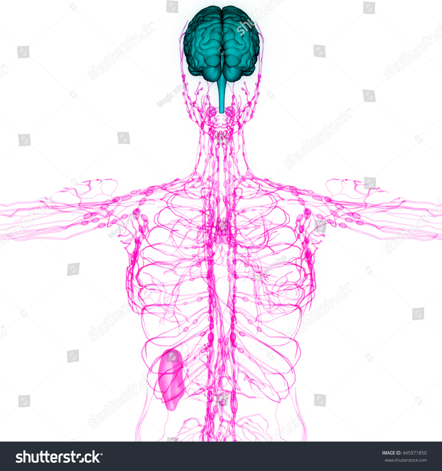 hight resolution of human brain with nerves lymph nodes anatomy 3d