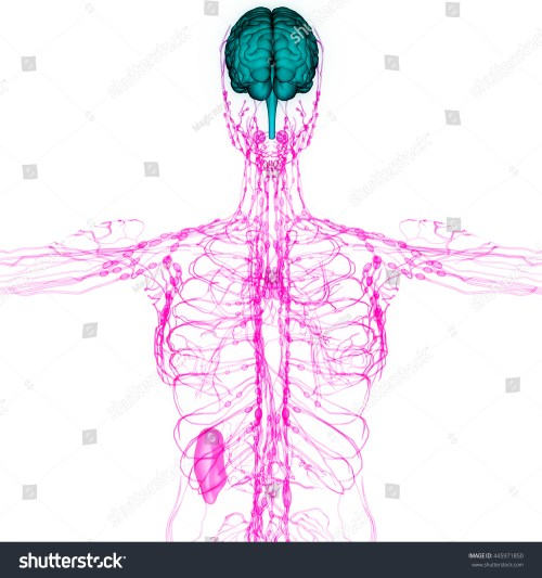 small resolution of human brain with nerves lymph nodes anatomy 3d