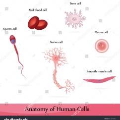 Human Muscle Cell Diagram 1997 Jeep Grand Cherokee Laredo Radio Wiring Cells Anatomy Bone Nerve Stock Illustration