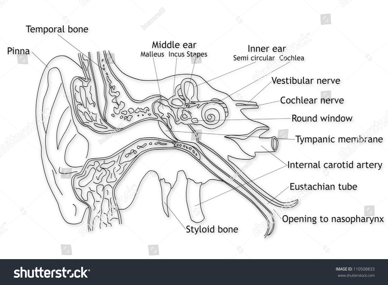 ear tympanic membrane diagram 1998 chevy tahoe wiring human structure stock photo 110508833 shutterstock