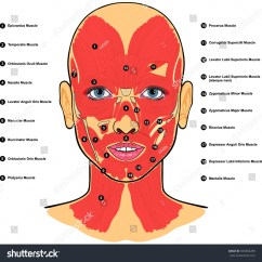 Face Muscles Diagram Wiring For Cub Cadet Zero Turn Human Anatomy Labeled Names Stock