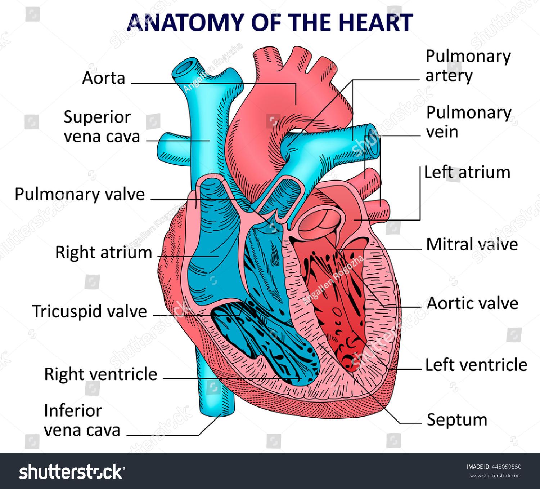 anatomical heart diagram 1966 corvette headlight wiring anatomy