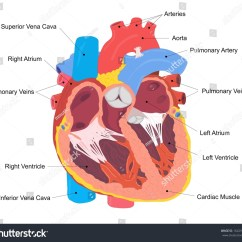 Unlabeled Heart Diagram Cross Section Lighting Circuits Wiring Diagrams For House Human Stock Photo 164295002 Shutterstock