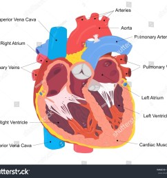 human heart cross section stock illustration 164295002 shutterstock rh shutterstock com simple heart diagram heart diagram [ 1500 x 1327 Pixel ]