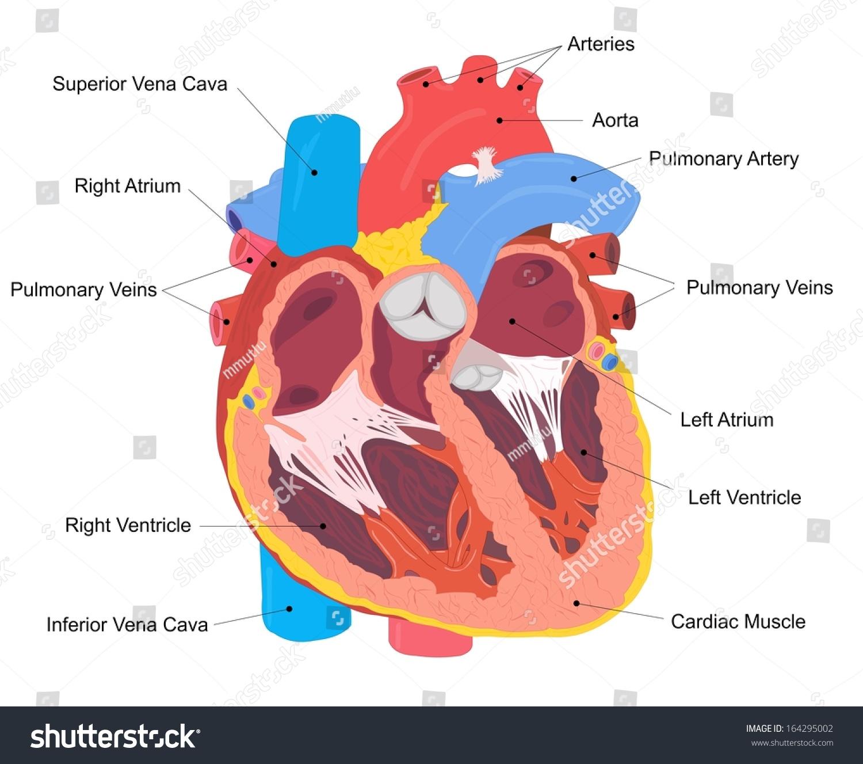 hight resolution of human heart cross section stock illustration 164295002 shutterstock rh shutterstock com simple heart diagram heart diagram