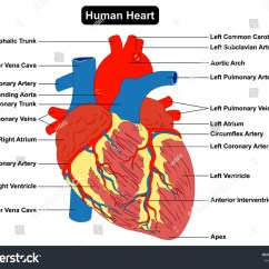 Heart Beat Diagram Pioneer Car Stereo Speaker Wiring Human Muscle Structure Anatomy Infographic Stock