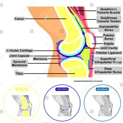 Knee Diagrams Anatomy Of A Raymarine Transducer Wiring Diagram Human Joint Structure Contents Stock