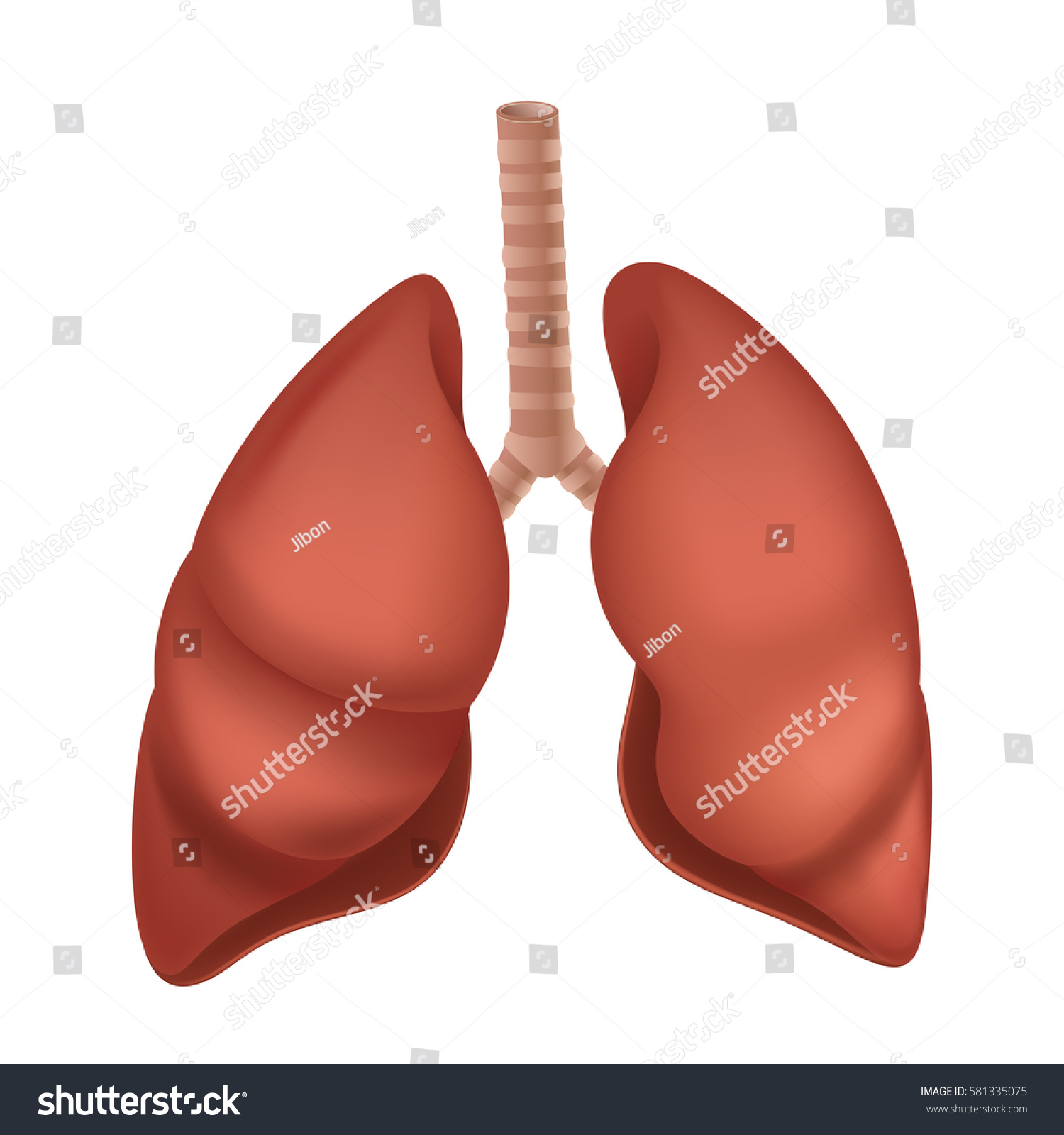 hight resolution of human lung anatomy diagram