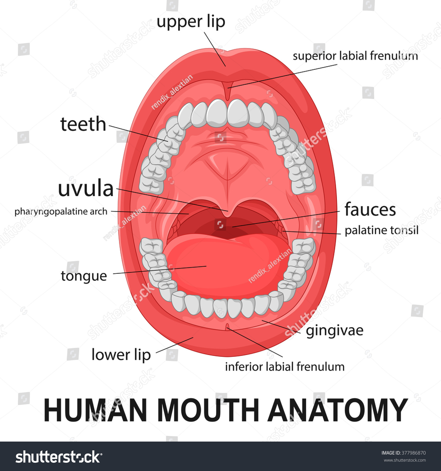 health tongue diagram wiring for 12v led lights human mouth anatomy open explaining stock