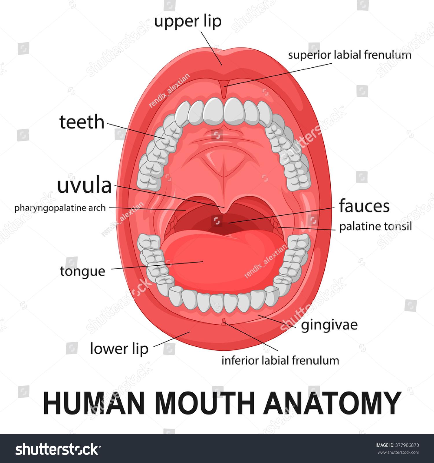 lip anatomy diagram hvac wiring diagrams human mouth open explaining stock