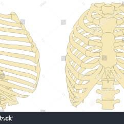 Rib Cage Bone Diagram 1992 Honda Civic Fuse Human Anatomy Anterior Right Stock Illustration