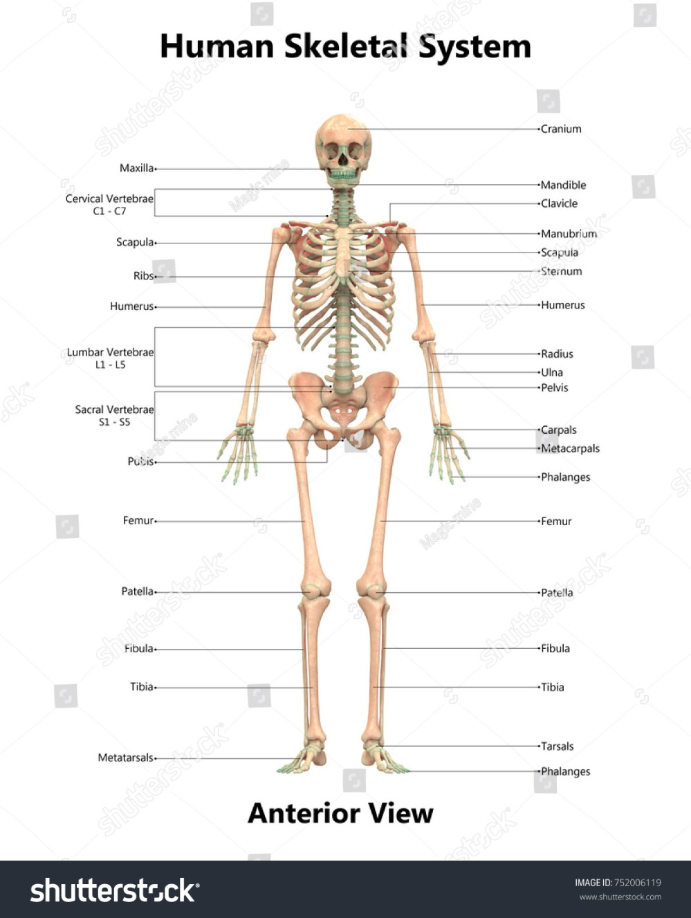 medium resolution of human skeletal system anatomy with detailed labels anterior view 3d