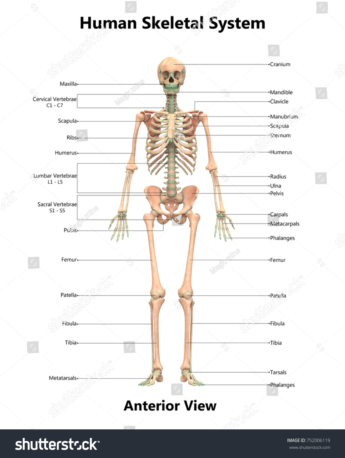 hight resolution of human skeletal system anatomy with detailed labels anterior view 3d