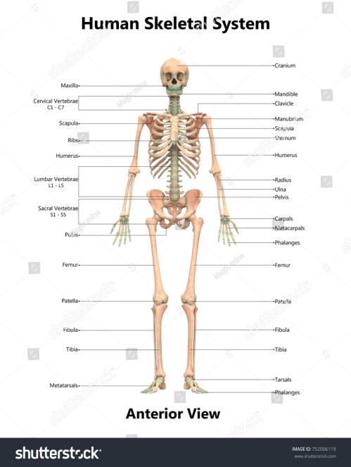 small resolution of human skeletal system anatomy with detailed labels anterior view 3d
