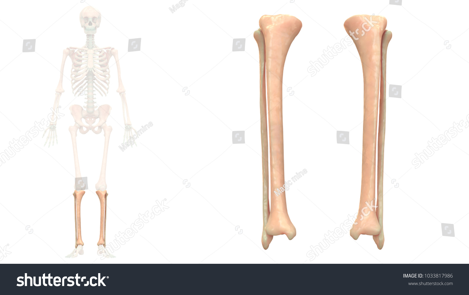 hight resolution of tibia and fibula diagram unlabeled hd 1500 945