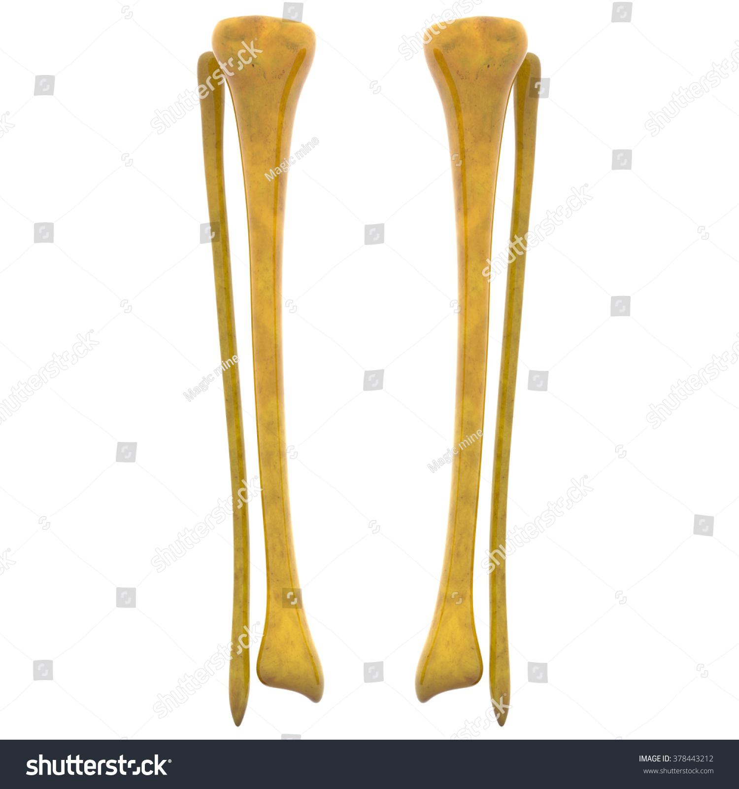 Human Skeleton Tibia Fibula Bones Stock Illustration