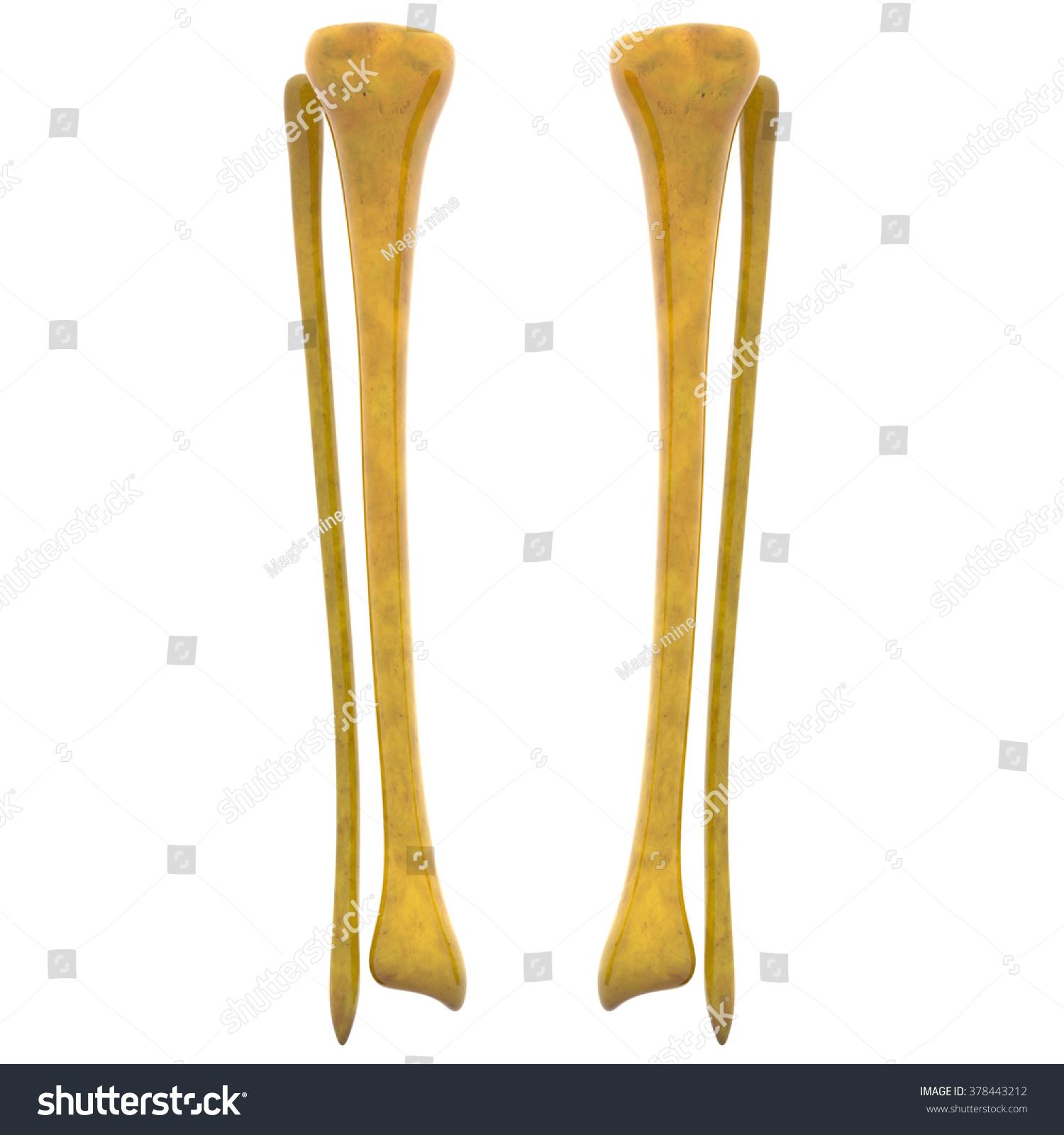 tibia and fibula blank diagram venn logic problems worksheets human skeleton  defenderauto info
